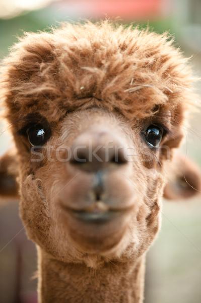 Alpaka kafa yakın görmek kahverengi yüz Stok fotoğraf © tepic