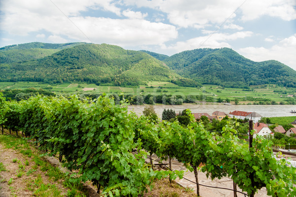 View over vineyard to Danube River Stock photo © tepic
