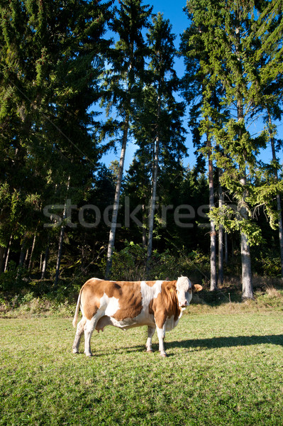 Cow and Conifers Stock photo © tepic