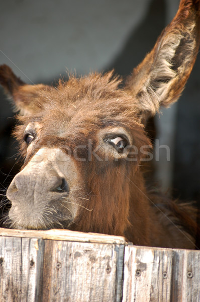 Donkey look out of a Stable Stock photo © tepic