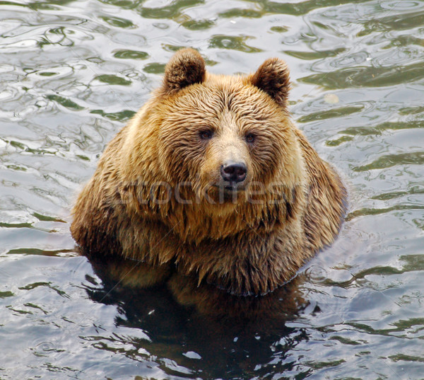 Grizzly-Bear in Water Stock photo © tepic