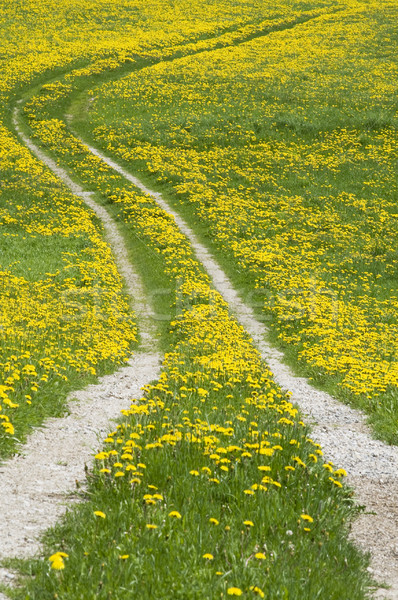 Path and Dandelions Stock photo © tepic