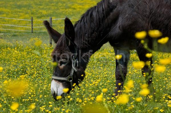 ロバ 花畑 フィールド 黄色の花 春 背景 ストックフォト © tepic