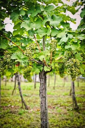 Vineyard in Wachau Stock photo © tepic