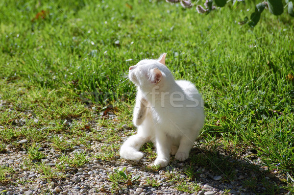 White Cat scratching Stock photo © tepic