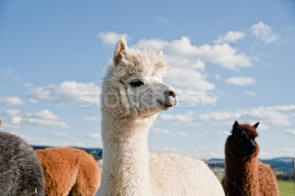 White Alpaca in a Herd Stock photo © tepic