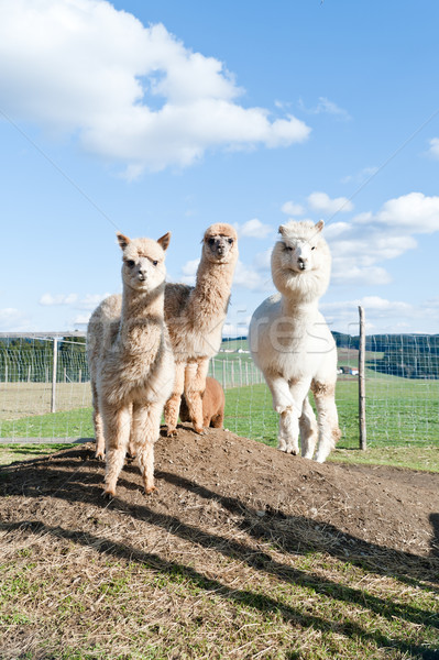 Group of white and brown Alpacas Stock photo © tepic