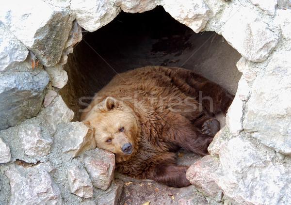 сонный полый Бурый медведь спальный пещере природы Сток-фото © tepic