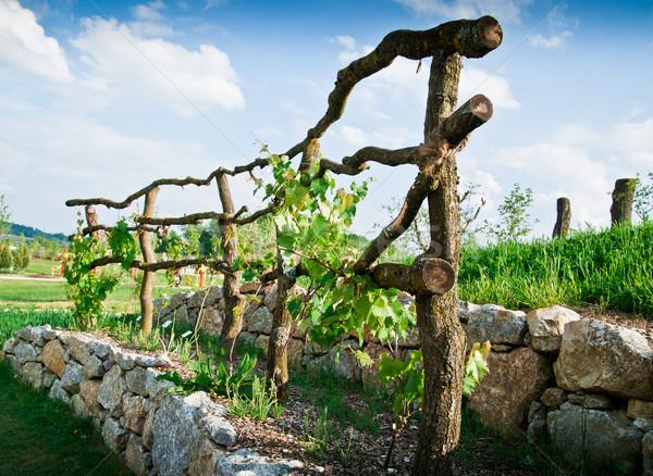 Winorośl taras kamienie charakter krajobraz Zdjęcia stock © tepic