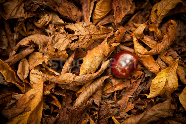 Chestnut in a Autumn Foliage Stock photo © tepic