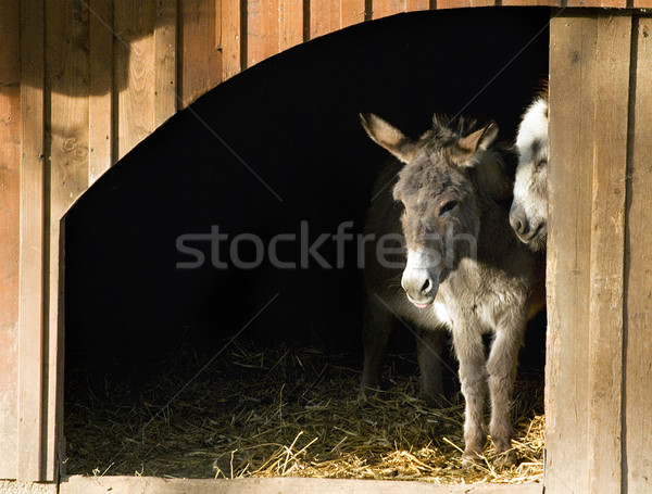 Two Donkeys in the Stable Stock photo © tepic