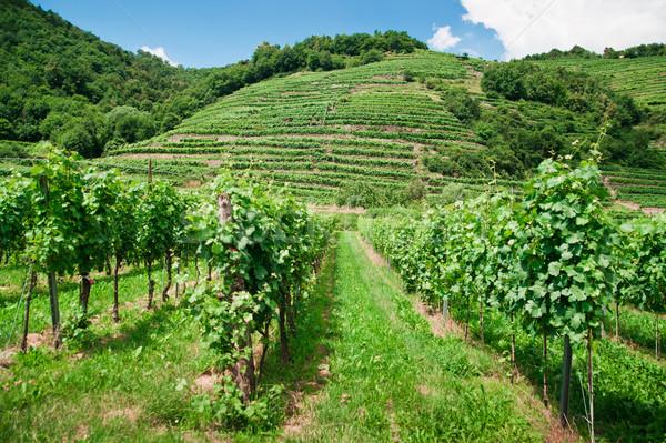 Vinery in Austria Stock photo © tepic