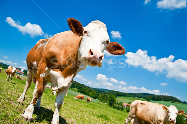 Stock photo: Brown Cow in Austrian Landscape