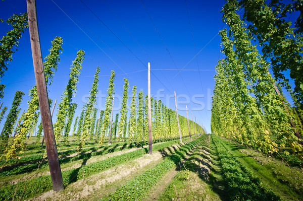 Hop Field in Austria Stock photo © tepic