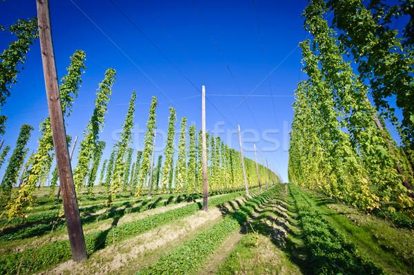 Hop veld Oostenrijk hemel natuur landschap Stockfoto © tepic