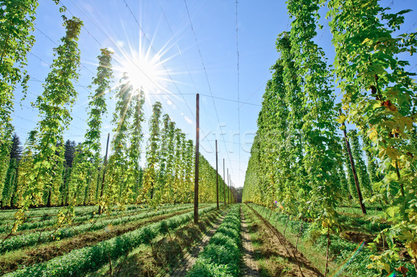 Stockfoto: Zonneschijn · hop · veld · groeiend · oogst · hemel