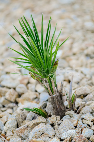 Young Yucca Plant Stock photo © tepic