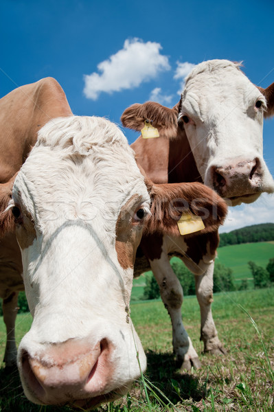 Two Cows Stock photo © tepic