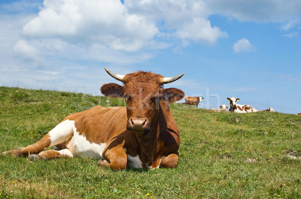 Relaxing Cow in the Pasture Stock photo © tepic