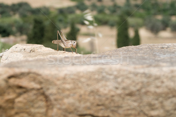 Grasshopper sitting on a Stone Stock photo © tepic
