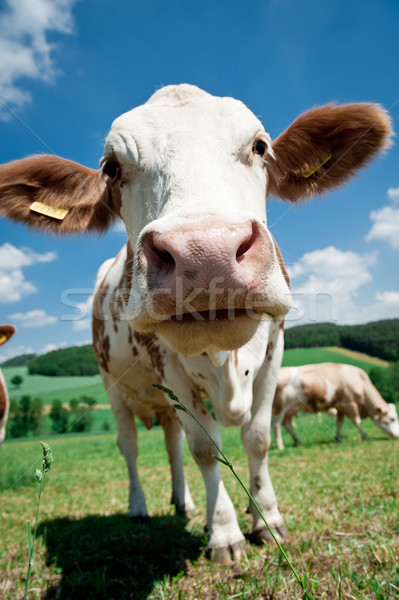 Close to a Cow Stock photo © tepic