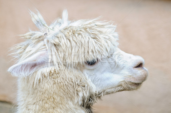 Side view of a white alpaca Stock photo © tepic