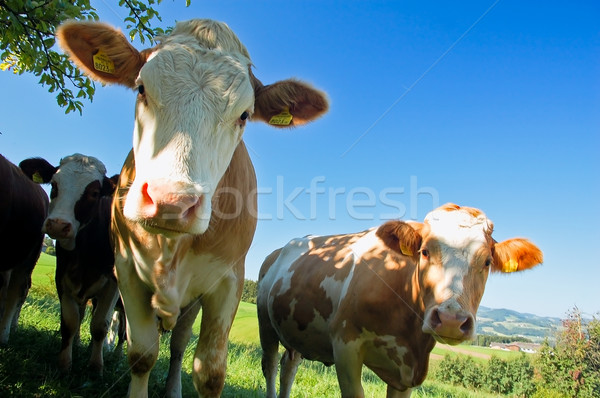 Curious Cows Stock photo © tepic