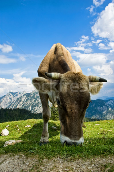 Swiss Cattle in the Alps Stock photo © tepic