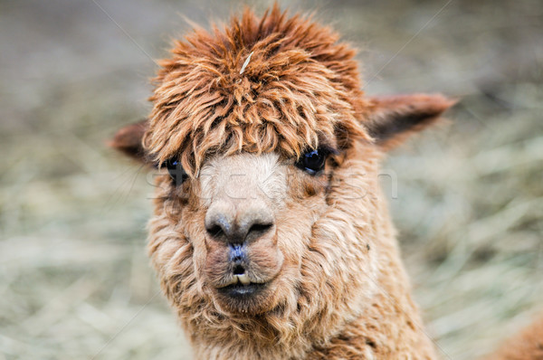 Funny looking brown Alpaca Stock photo © tepic