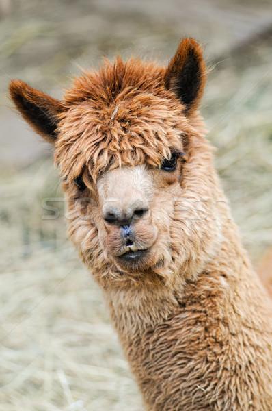 ブラウン アルパカ 頭 好奇心の強い 見える カメラ ストックフォト © tepic