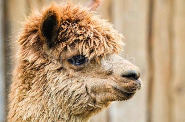 Profiel bruin zijaanzicht pluizig oog boerderij Stockfoto © tepic