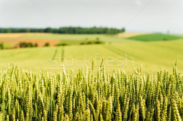 Kukoricamező Ausztria tavasz tavasz étel tájkép Stock fotó © tepic