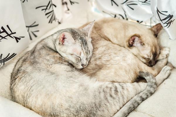 два кошек гонка кошки расслабиться белый Сток-фото © tepic
