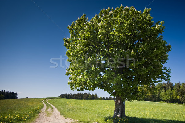 Summer Tree Stock photo © tepic