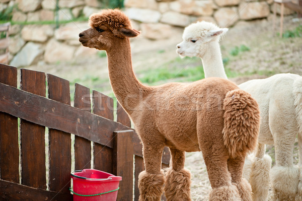 Two Alpacas Stock photo © tepic