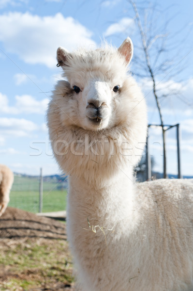 White Alpaca Stock photo © tepic