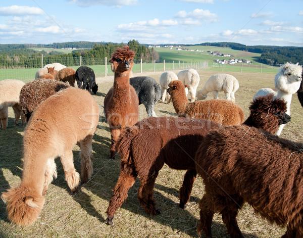 Alpaka grup farklı renkli manzara Stok fotoğraf © tepic