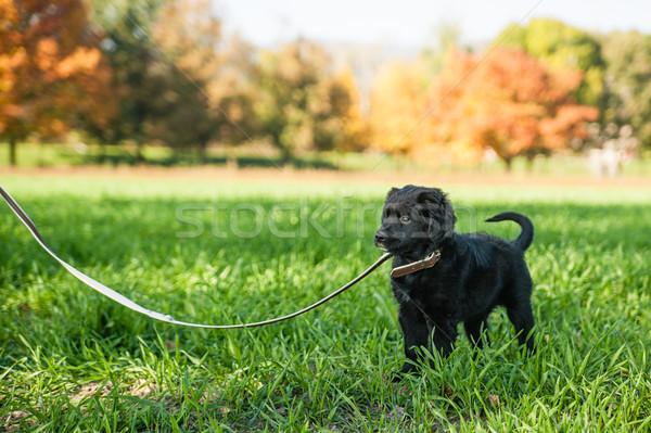Jonge retriever puppy riem eerste tijd Stockfoto © tepic