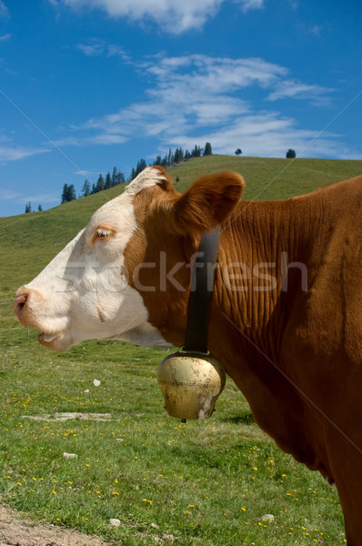 Simmental Cow with Bell Stock photo © tepic