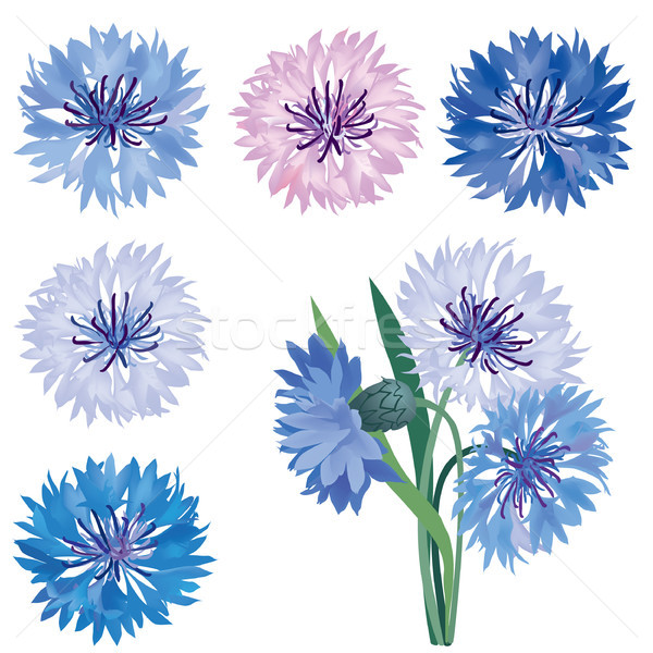 Floral bloom set. Flower cornflower. Summer nature signs Stock photo © Terriana