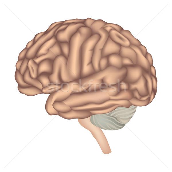 Geïsoleerd hersenen anatomie illustratie Stockfoto © Terriana