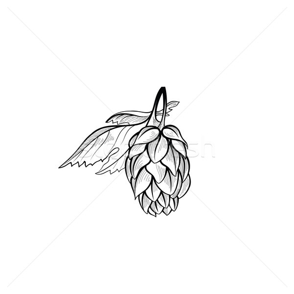 Hops bush. Floral beer icon. Engraving hand drawn brewing design Stock photo © Terriana