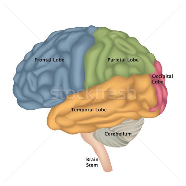 Hersenen anatomie illustratie geïsoleerd Stockfoto © Terriana