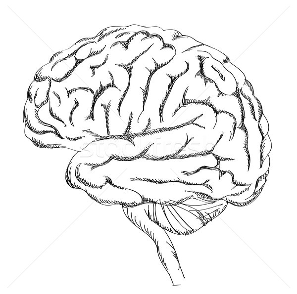 Brain isolated. Anatomy sketch. Human brain lateral view. Stock photo © Terriana