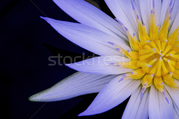 Amazon Water Lily Stock photo © thisboy