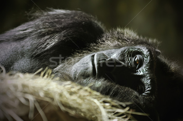 Sleeping Gorilla Stock photo © thisboy