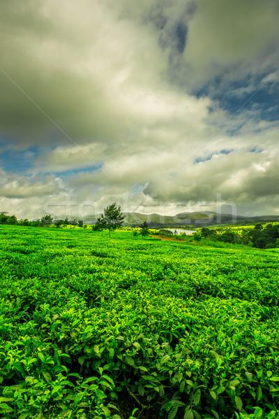 çay tarla yeşil manzara Malawi Stok fotoğraf © thisboy