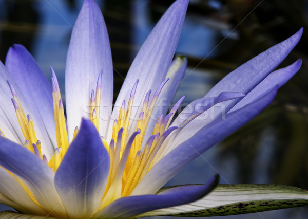 アマゾン 水 ユリ 美しい 紫色 花 ストックフォト © thisboy