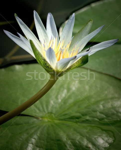 Amazon Waterlily Stock photo © thisboy
