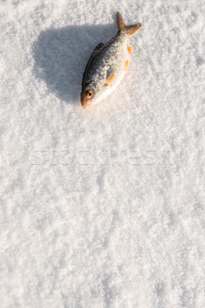 Hal jég frissen fektet szem természet Stock fotó © thisboy